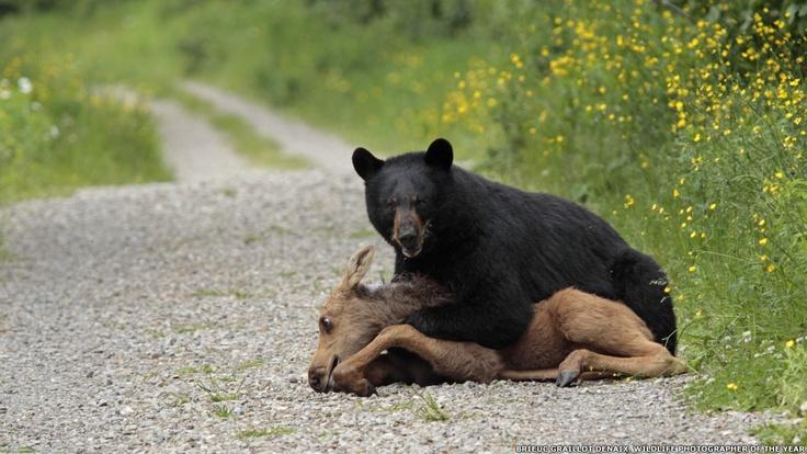 Un oso negro salvaje ataca a un alce americano en el parque nacional de Forillon, en Gaspé, Canadá. Foto: Brieuc Graillot Denaix (Francia)