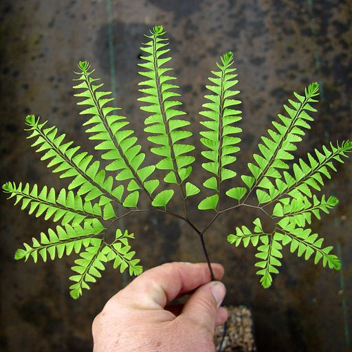 Adiantum pedatum Maiden Hair Fern - Click Image to Close