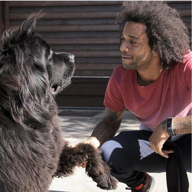 Real Madrid defender Marcelo bears a striking resemblance to his Newfoundland Lola (left)
