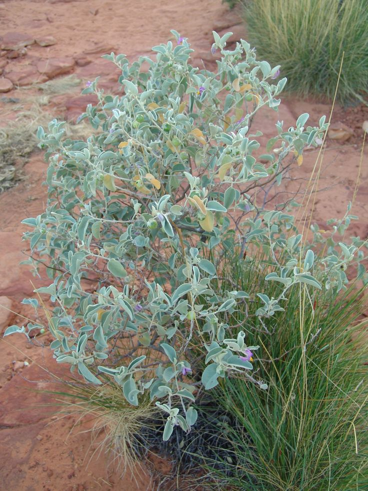 17 Best Images About Desert Shrubs And Plants On Pinterest 400 x 300