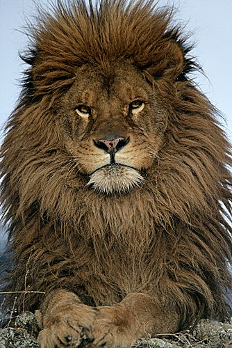 Barbary lion..an actual different species from the african lion.
