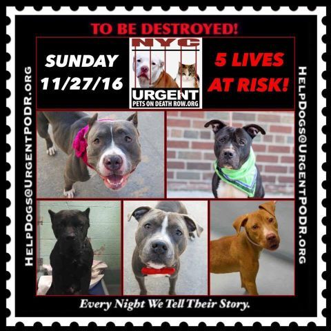 TO BE DESTROYED 11/27/16 - - Info  Please Share:  To rescue a Death Row Dog, Please read this:http://information.urgentpodr.org/adoption-info-and-list-of-rescues/  To view the full album, please click here:http://nycdogs.urgentpodr.org/tbd-dogs-page/ -  Click for info & Current Status: http://nycdogs.urgentpodr.org/to-be-destroyed-4915/