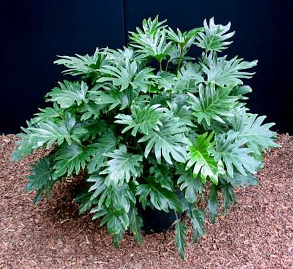 Philodendron-Xanadu