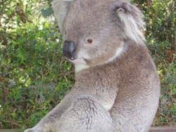 Zuid-Australië Koala's spotten! Goede lijst met bezienswaardigheden die je niet mag missen!