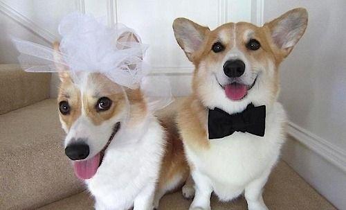 Corgi Bride And Groom A Wedding I Wouldn T Mind