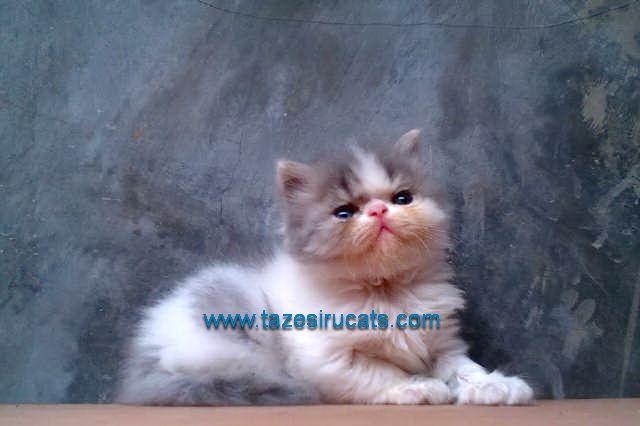 Harga Kucing Anggora Wilayah Medan Harga Yos