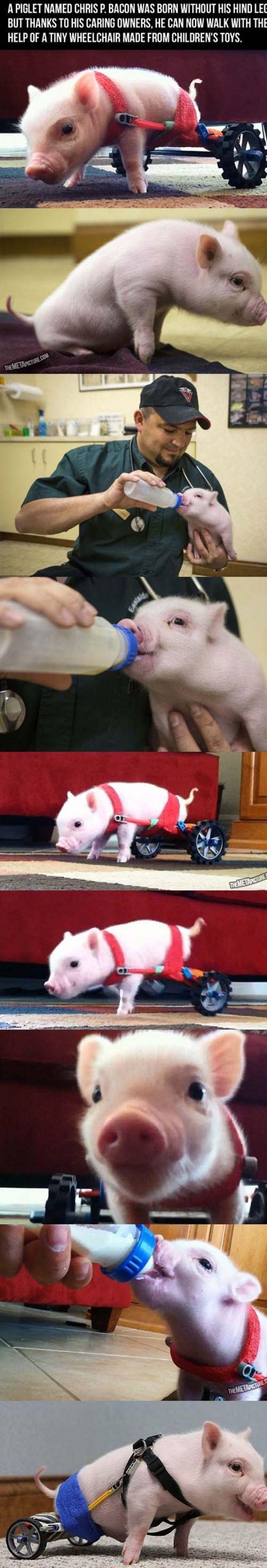 A #piglet name Chris P #Bacon