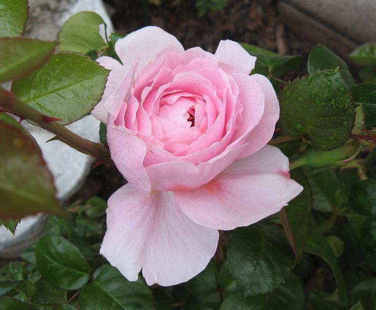 Strawberry Hill, Austin English Rose, my garden 2012