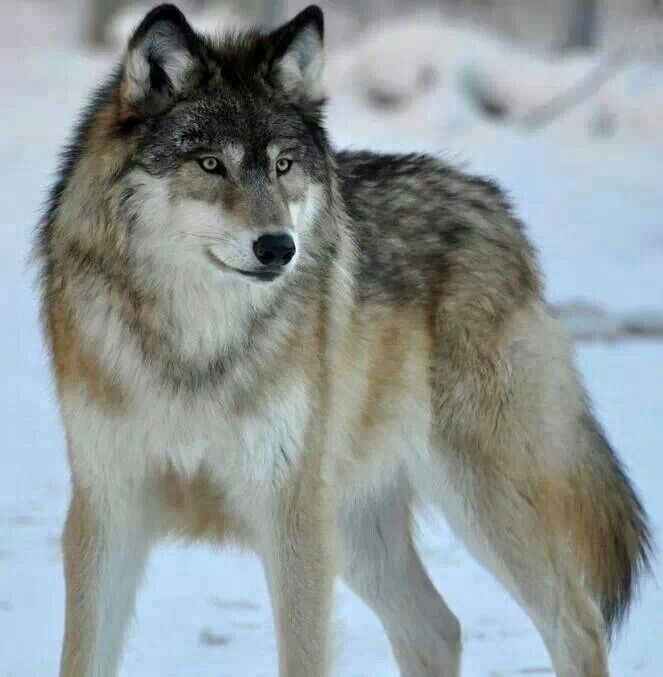 Amazing Wolf: 17 Best Images About Animals On Pinterest