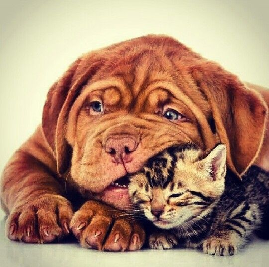 #Dogue de #Bordeaux