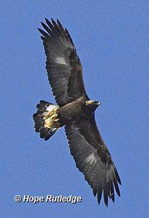 Bald Eagle Description Page 2 - American Bald Eagle Information