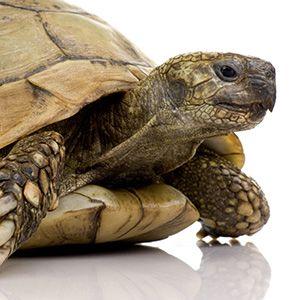 Comment préparer votre tortue terrestre à l'hibernation ? | GROUPE VETERINAIRE DU PORHOET