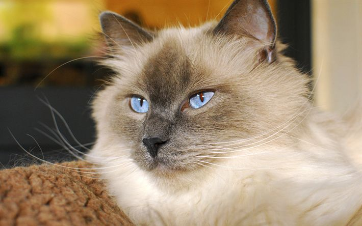 Download wallpapers Himalayan Cat, 4k, muzzle, cute animals, cats