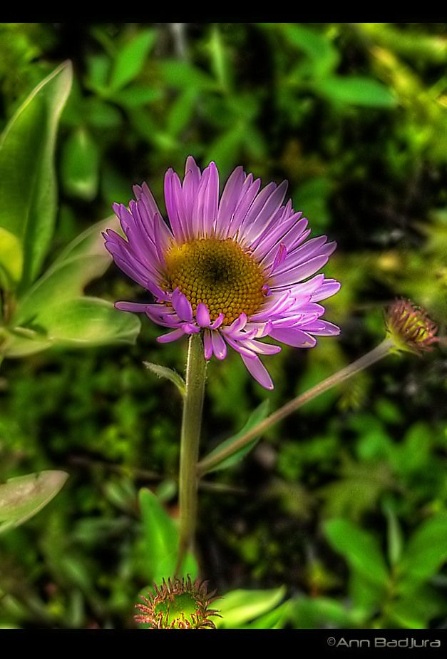 A purple Aster seen in the Canadian Rocky Mountains...taken by myself - ©Ann Badjura