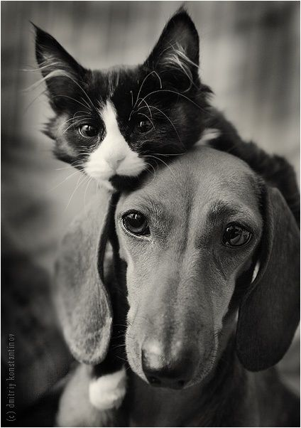 ahhh Friends ♥ [I love little dachshunds, too!]--I actually think my cats would like one;)