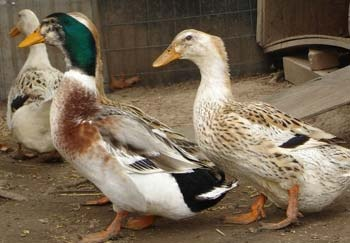 Silver Appleyard heritage duck breed: Raised Ducks, Appleyard Ducks, Ducks Goose, Ducks Breeds, Ducks Ducks, Silver Appleyard, Heritage Ducks