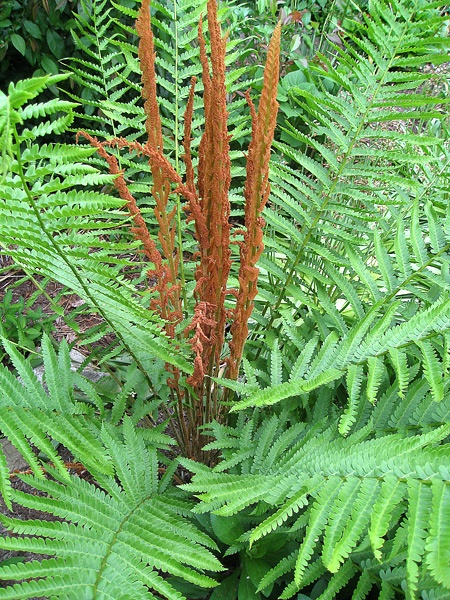Osmunda Cinnamomea  Common Name: Cinnamon Fern Very reliable Grows 3-5 Feet / ATTRACTS: Brown Thrasher birds. Plant under feeders in wooded areas.