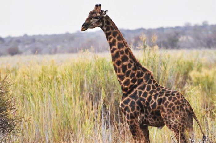 #MongenaPrivateGameReserve #Giraffe #Wildlife #Nature