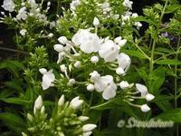 Staudefeen.dk Phlox Amplifolia David