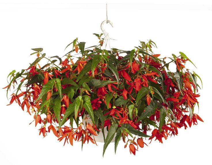Begonia boliviensis, Santa Cruz® , Annual | Benary