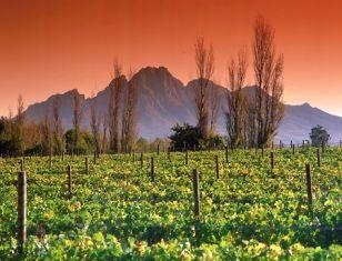 winelands in Stellenbosh, Cape