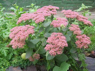 Почвопокровные многолетние растения, цветущие все лето: фото и названия цветов-многолетников для сада