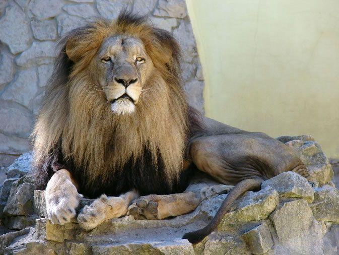 Panthera leo bleyenberghi — юго-западный африканский, или катангский лев. Распространён в Юго-Западной Африке — Намибии, Ботсване, Анголе, Заире, Замбии и Зимбабве. Грива у самцов данного подвида имеет более светлый цвет. Самцы имеют 2,5-3,1 метр в длину, включая хвост. Львицы достигают 2,3-2,65 метра. Рост в холке – 90-120 см. Все самцов обычно от 140 до 240 кг, самок – 105-170 кг. Этот подвид львом менее всего находится под угрозой вымирания.