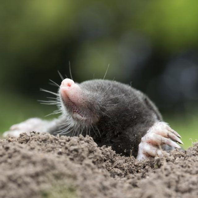 How to Get Rid of Moles Damaging Your Yard