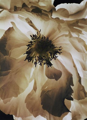 Peony, toned silver print, 14 x 14       Lisa Tyson Ennis bio press   I shoot what the eye can not see. Over time, with extended exposures, film is able to collect the changing light. As light passes across the landscape, the film gathers a composite of light as it travels with time