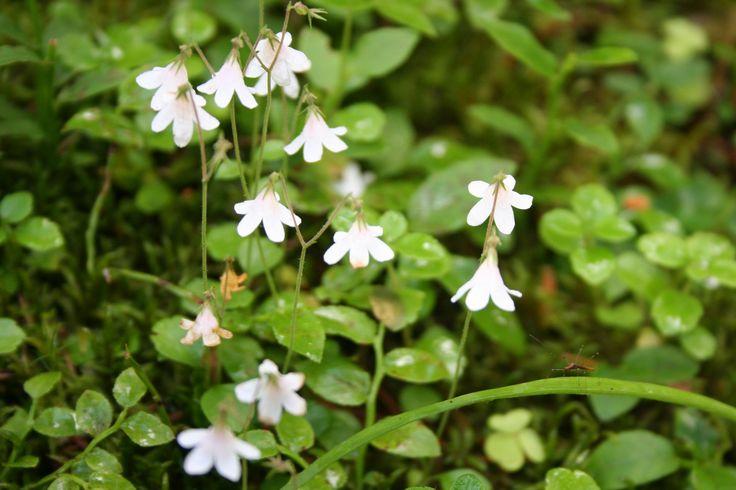 """Vanamo, Linnaea borealis.  Twin Flower. """"Tuoksut vanamon ja varjot veen; niistä sydämeni laulun teen""""  A verse of an Eino Leino (1878-1926) poem called Nocturne (1903)"""