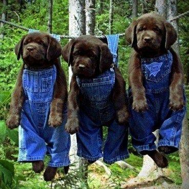 Black Lab puppies just hangin' around http://mamabearplus6.wix.com/fortheloveoflabs