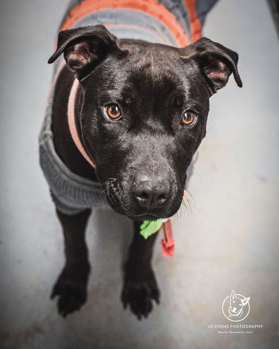 Nevada <3 This girl is one gorgeous bundle of happiness. She's still just a young dog, estimated at 12-18 months of age. She is in pristine condition so once again I'm amazed that nobody has come looking for her. Like Simmo below, she isn't microchipped s