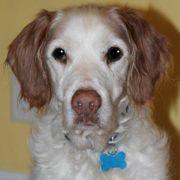 American Brittany Rescue :: Turner (Virginia)