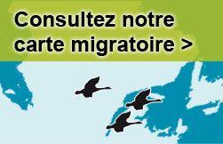 Carte de migration des oies