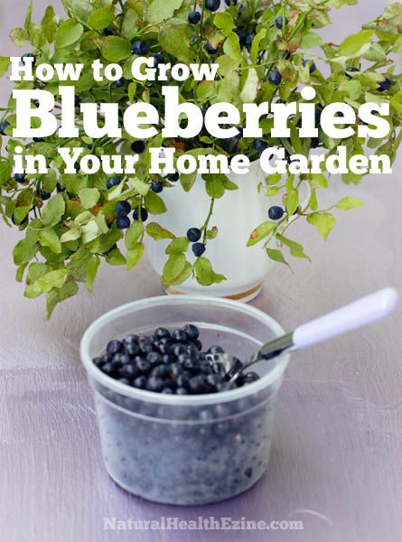 If you're looking for ways on how to grow blueberries in your home garden, here are a few tips that can help you out. There are several different types of blueberries to choose from. The type of blueberries you normally find in the produce section...