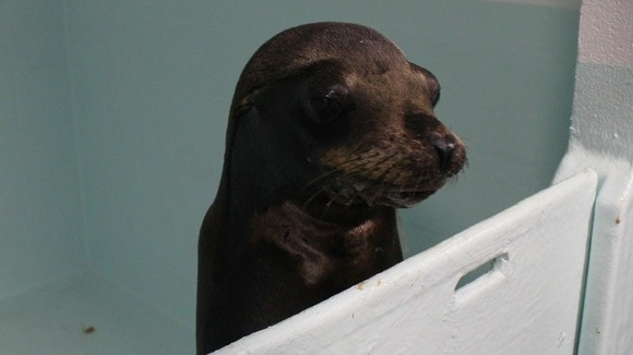 Seal Lion arrives at Tynemouth aquarium | Tyne Tees - ITV News