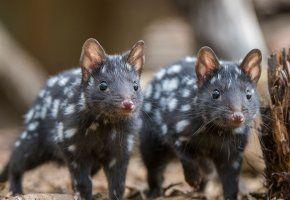 австралия, куница, млекопитающее, тасмания, крапчатая сумчатая куница