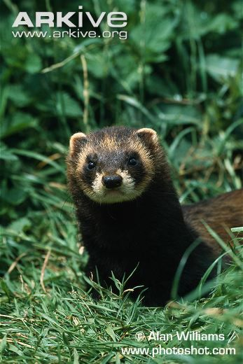 The largest member of the genus Mustela in Britain, the European polecat has a weasel-like slender body, short legs and a broad head. Distributed throughout much of Europe, but absent from Ireland, European polecats declined in the early 20th century, reaching their lowest ebb by the 1950s.