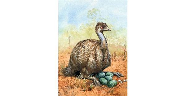 Print – Emu 1. Rhonda's Art is a collection of original watercolour, mixed media and silk paintings by Gosford artist Rhonda N. Garward. This is the largest Australian bird, standing between 1.5 to 2 metres tall. They are very well adapted to dry conditions and are found in all areas of Australia. They can run very fast and are curious creatures. The male will incubate their clutch of large greenish eggs and care for the group of striped chicks.