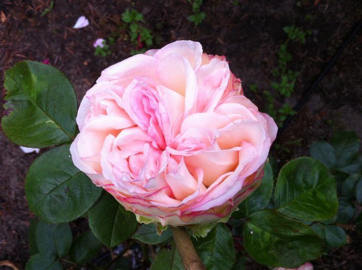 biedermeier rose rosen pinterest roses. Black Bedroom Furniture Sets. Home Design Ideas