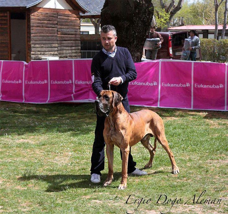Dogo Alemán Atigrado, Monográfica Nacional Dogo Alemán España 2015. Great Dane