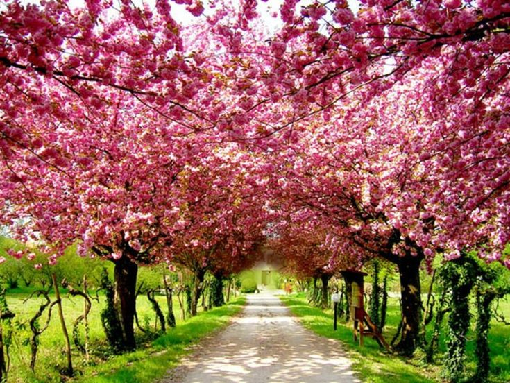 Cherry Blossom Natural Pink Picture: Cherries Blossoms, Walks, Dreams, Pink Trees, Driving Way, Cherries Trees, Driveways, Blossoms Trees, Roads