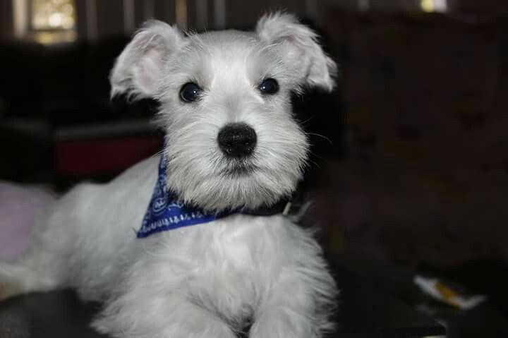 White schnauzer pup