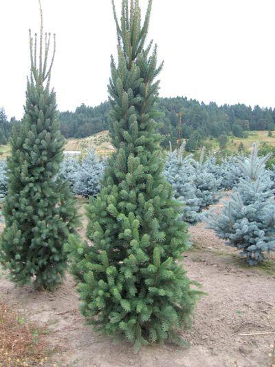 Best 25 Norway Spruce Ideas On Pinterest Dwarf Evergreen Trees Evergreen Trees Landscaping