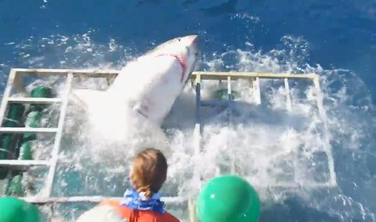 The moment the Great White smashes its way through the metal cage