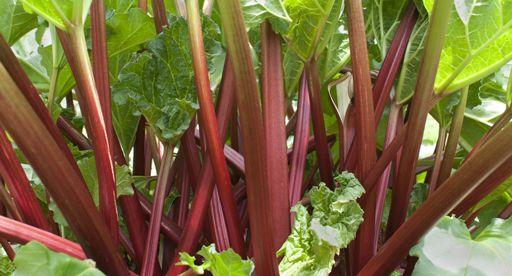 Tui Garden | Rhubarb Growing Guide