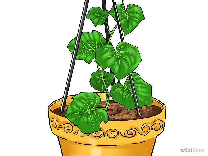 how to grow cucmbers in a pot