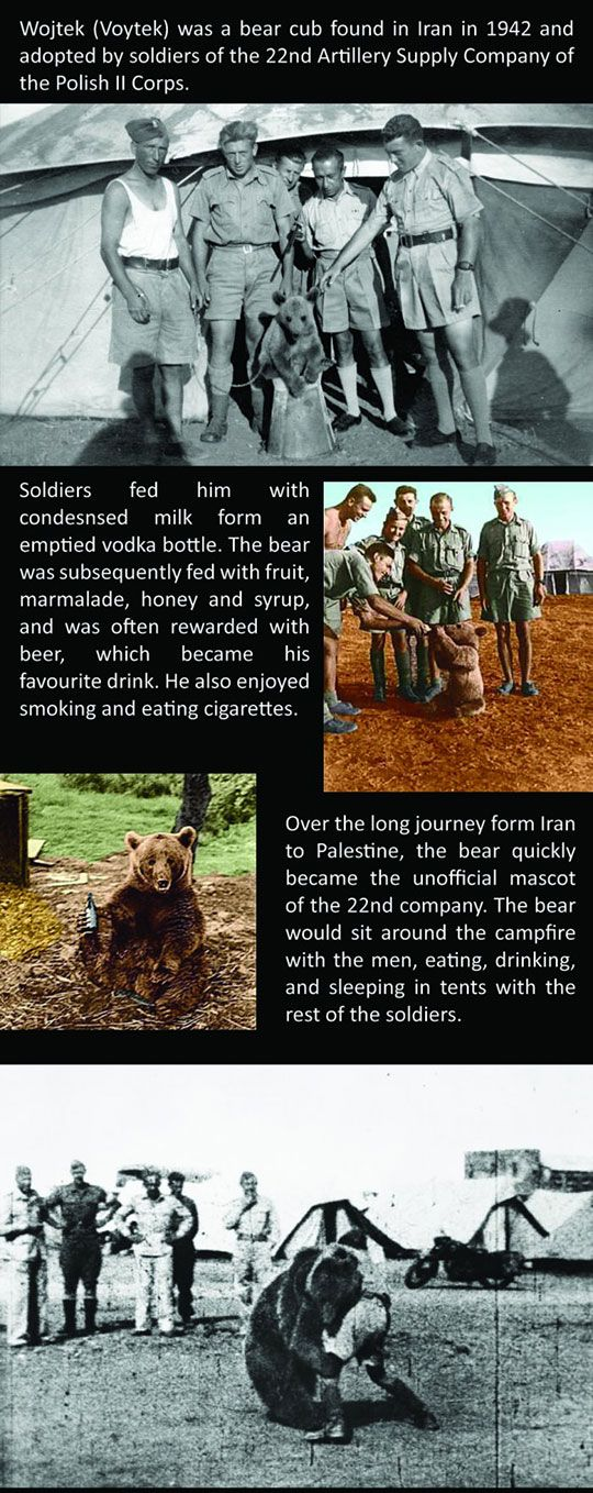 The amazing story of Voytek the soldier bear. He was adopted by soldiers of the 22nd Artillery Supply Company of the Polish II Corps.