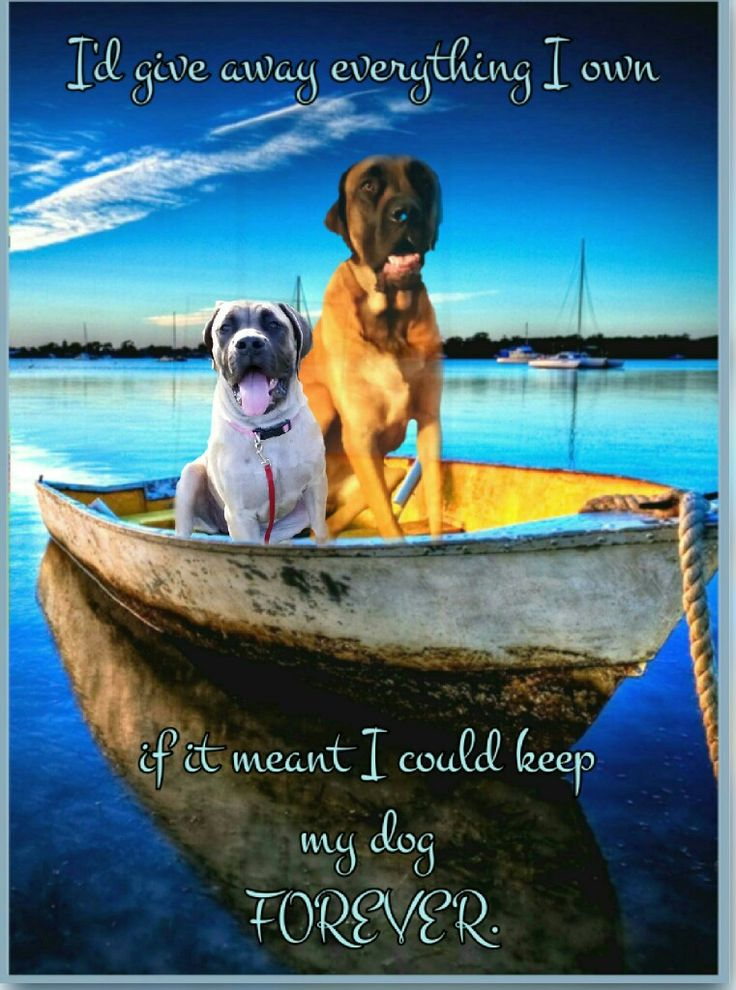 I'd give away everything I own if it meant I could keep my dog FOREVER! #dogs #mastiffs #englishmastiffs #bigdogs #gentlegiants #mastiff_happy #dog quotes