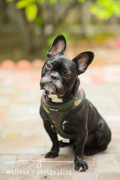 french bulldog rescue wi 25 best ideas about french bulldog adult on pinterest 4176